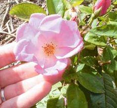 Rose hips: growing, drying, rose hip tea, rose hip syrup, etc.