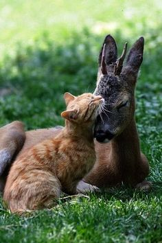 Some serious lovin' going on between a young fawn and #cat. #animals