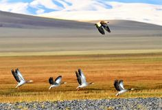 A Ruddy Shelduck overtakes a flock of Barhead Geese in Nyima County, southwest China's Tibet Autonomous Region