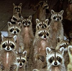 A Whole Bunch Of Raccoons!