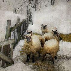 Упрямая овечка.