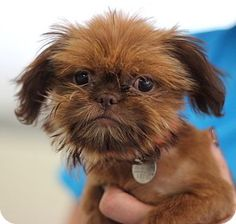 """ADOPTED !! #GEORGIA ~ meet Lorax!  This cutie-pie came to us when a breeder had """"overstock."""" She's  very darling  a bit demure. She has a bubbly personality once she's comfortable with you  loves to be bribed w/ treats! She didn't get the best hair cut before coming to us but her hair will grow back  she'll have the typical Shih Tzu coat that'll require regular grooming. She's still very young  will need a family who's patient  understanding. #Atlanta Pet Rescue  Adoption Ph (404) 815-6680"""