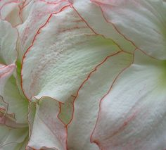 Amaryllis petals with faint pink edge very beautiful!