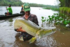 The Arapaima is one of the largest freshwater fish in the world. Primarily found in the Amazon River Basin.
