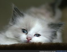 Random Collection of 35 Cute Persian Cats