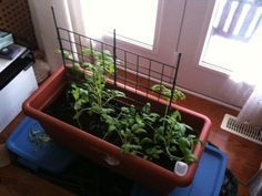 Growing Indoor Tomatoes: Tips On How To Grow Tomato Plants Over Winter – Tomatoes are a warm season crop that dies back when cold temperatures threaten. This usually means no home-grown tomat… Growing Tomatoes Indoors, Tips For Growing Tomatoes, Growing Tomato Plants, Growing Tomatoes In Containers, Grow Tomatoes, Baby Tomatoes, Dried Tomatoes, Cherry Tomatoes, Winter Vegetables
