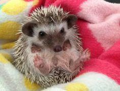 My New Baby Hedgehog | Cutest Paw