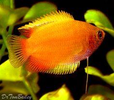 Honey Dwarf Gourami Fish for Sale at AquariumFish.net