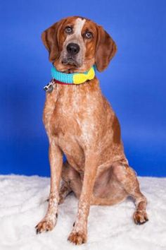 4 / 7    ***SENIOR*** Petango.com – Meet Oscar, a 8 years 1 month Coonhound / Mix available for adoption in LONGMONT, CO Contact Information Address  9595 Nelson Road, LONGMONT, CO, 80501  Phone  (303) 772-1232  Website  http://longmonthumane.org  Email  info@longmonthumane.org