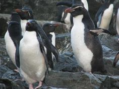 Eudyptes robustus / Pingüino de las Snares / Snares Penguin / Gorfou des Snares/Snaresinselpinguin