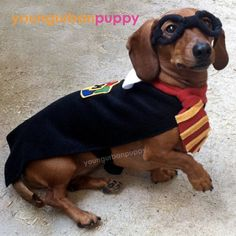 Harry Potter costume for dachshund! Patterson and Snelson Snelson Sanford Dachshund Costume, Dachshund Rescue, Puppy Costume, Dachshund Love, New Halloween Costumes, Pet Costumes, Happy Halloween, Harry Potter Dog Costume, Ridiculous Harry Potter