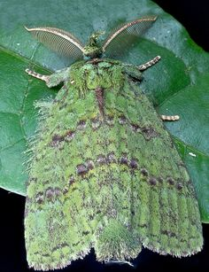 Mossy moth (Mpanjaka pastor)  As an adaptation to the rainforest environment, filled with mosses and lichens, the scales of this...