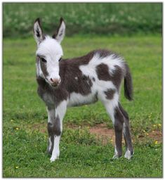Miniature Donkeys | Our Newborns - Miniature Donkey Babies at HAA Miniature Donkey Farm ...
