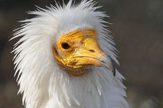 New behaviour witnessed by the endangered Egyptian Vulture - painting faces with mud make up!