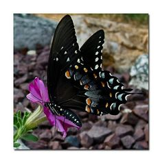 Dark and vibrant colors make for a beautiful butterfly.