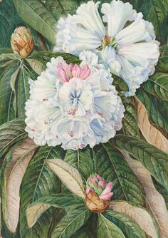 Marianne North, #Kew Gardens - Foliage and Flowers of the Indian Rhododendron grande.  © The Trustees of the Royal Botanic Gardens, Kew