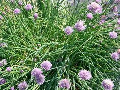 Erbe officinali: l'erba cipollina