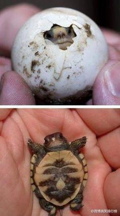 cute baby turtle....or tortoise. :))
