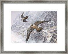 Pair Of Peregrine Falcons In Flight Framed Print by Alan M Hunt Big Cats Art, Cat Art, Wildlife Paintings, Wildlife Art, British Birds Of Prey, Peregrine Falcon, British Wildlife, Animal Habitats, Amazing Paintings