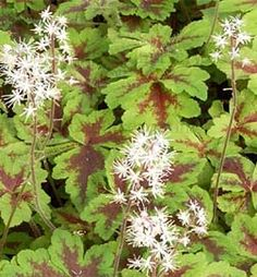 Buy Tiarella Crow Feather online at Greenwood Nursery   Add to My Favorites , View My Favorites Planting Zones: 4, 5, 6, 7, 8, 9 Plant Type: Evergreen Light requirements: Partial Sun Soil Conditions: Moist, Well Drained Height at Maturity: 0 - 1 ft Growth Rate: Fast Flowering: Yes Bloom Color: Pink, White Fragrant: Yes Bloom Season: Summer