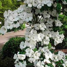 Exceptionally large, ruffled blooms of pure ivory white! Crossed w/ regular Pacfiic dogwood and Kousa and is more healthier and more disease resistant than both. Flowering Shrubs, Trees And Shrubs, Pacific Dogwood, Small Ornamental Trees, Backyard Shade, Moon Garden, Dream Garden, Dogwood Trees, Gardens