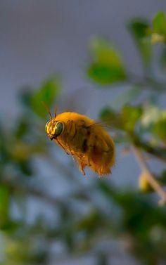 Beautiful Bee - A Day at Vasona Lake - Edible Frog