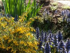 'Catlins Giant' bugleweed (blue flowers) with an evergreen barberry (Orange flowers)