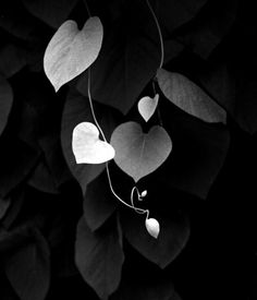 leaves that are hearts.