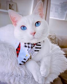 #petclubsa #whitecatsrule #whitecatsofig #whitecatsofinstagram #whitecatsociety #catfeatures #meowed #catsofinstagram #catloversclub #petbandana #catbandana #leopardchristmastree #cat_features #cattasticworld #cat_delight #cats_of_instagram #iceblueeyes #catloversclub #instacat_meows #whitecatsrock #whitecatblueeyes #meowstagram #catstercats #moderncat #lovemeow #thecatniptimes #catnews #purringtonpost #catstagramcat Cat Bandana, White Cats, Cats Of Instagram, Cat Lovers, Cute Animals, Club, Pets, Collection, Pretty Animals
