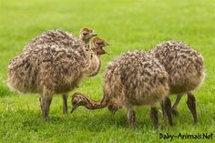 Baby ostrichs  #babyanimals #babyostrich #ostrich #cuteostrich #littleostrich #sweetostrich #ostrichphotos #babyostrichpictures