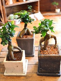 定休日 みどりさがし : Kitowaの日々 All Plants, Potted Plants, Indoor Plants, House Plants, Japanese Bonsai Tree, Love Garden, Plant Pots, Ficus, Wabi Sabi