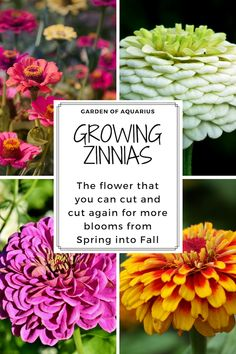 How to grow an amazing garden of zinnias from seed Last year my zinnia flowers were over 4 ft tall and the envy of my neighbors! I was cutting them and putting them in vases everywhere. Learn here how to grow zinnias from seeds in pots or in the landscape Zinnia Garden, Cut Flower Garden, Flower Farm, Garden Plants, Flower Pots, Shade Garden, Flower Gardening, Garden Seeds, Gardens