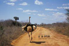 Guardate che bella famigliola di struzzi nel Parco Tsavo! Kenya, Tanzania, Wildlife Nature, Beach Holiday, African Safari, Beach Hotels, Early American, Long Weekend, Trekking