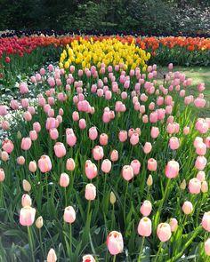 #keukenhof#keukenhofgardens#tulipseason#tulip#spring#tulipblossom#netherland#amsterdam#flowerblossom#flowers#travel#travelgram#travelling#traveldiary#trip#vacation#花语#花香#花海#花#郁金香#旅游#旅行#远足#旅记 by ivankhlee