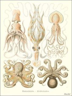 Giclee Print: Cephalopods by Found Image Press : 32x24in