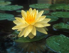 Yellow hardy water lily and frog