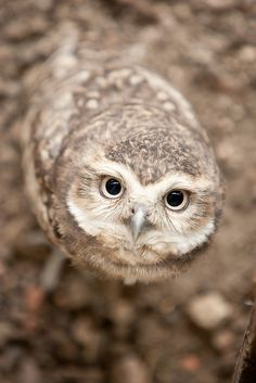 Burrowing owl: