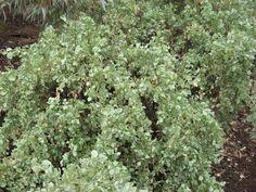 Saltbush | Bushfood Bush Tucker Taste Australia