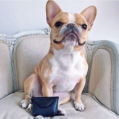 Chloe, the French Bulldog,  @ChloeTheMiniFrenchie designed pawtty bags aka the chicest way to carry your poop bags and all proceeds benefit the @HumaneSocietyNY! They're made in NYC and available for purchase at chloetheminifrenchie.com. by: @dogsofinstagram