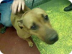 Act quickly to adopt .Pets at this Shelter may be held for only a short timeAtlanta, GA - American Pit Bull Terrier. Meet ROSY a Dog for Adoption.