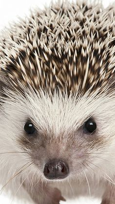 Hedgehog. Beautiful. // hehehe.... =) A