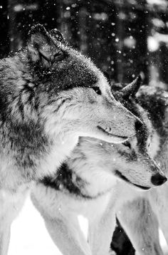 Stop Killing Wolves!