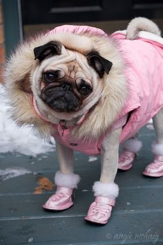 This pug is a winter princess