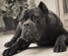 """Cane corso italiano - it is an admirable dog*s breed! I want to show photos of the dogs from our forum - """"Welcome, Cane Corso Italiano! Cane Corso Italian Mastiff, Cane Corso Mastiff, Cane Corso Puppies, Cane Corso Dog, Mastiff Breeds, Dog Breeds, Big Dogs, Cute Dogs, Awesome Dogs"""