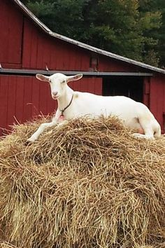 What goats do best, sleep on the food:) Country Farm, Country Life, Country Roads, Country Living, Farm Animals, Cute Animals, Red Farmhouse, Sheep Farm, Goat Farming