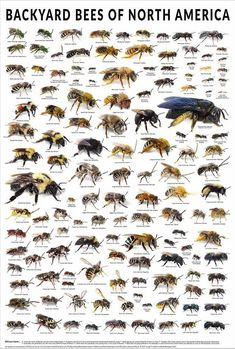 (do something like this for UK?) The backyard bees of North America poster displays over 130 different bee species, each pictured at their actual size and group. Bee Identification, Different Bees, Raising Bees, Poster Display, Backyard Beekeeping, Bees And Wasps, Bee Friendly, Bee Art, Garden Types