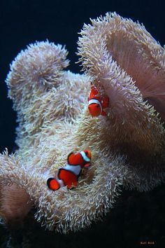 Photo by Karl Reid from WorldOceansDay site - Amphiprion percula probably somewhere in Malaysia or Thailand with anemone host Macrodactyla gigantea (white form) clown fish
