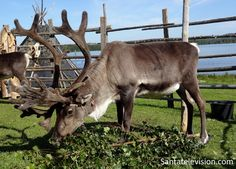Santatelevision Photo: Reindeer – Old Time Market – Rovaniemi – Lapland – Finland Helsinki, Santa Claus Village, Lapland Finland, Travel Videos, Father Christmas, Reindeer, Tourism, Old Things, City