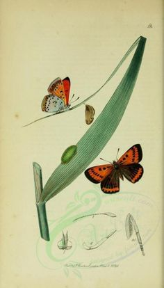 5 - British entomology, By John Curtis. Publication info: London : - via Biodiversity Heritage Library Old Book Pages, Art Clipart, Flora And Fauna, Picture Collection, Botanical Art, Fabric Decor, Wall Collage, Clip Art, Butterfly