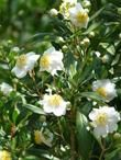 Carpenteria californica, Bush anemone with flowers - good California Native plant for shade